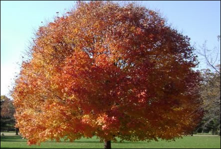 maple tree for sale ireland