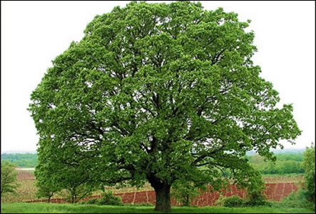 irish oak tree specialist nursery ireland